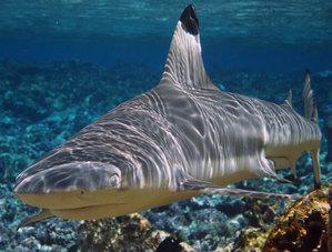 Черноперая рифовая акула (лат. Carcharhinus melanopterus)