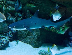 Белоперая рифовая акула (лат. Triaenodon obesus)