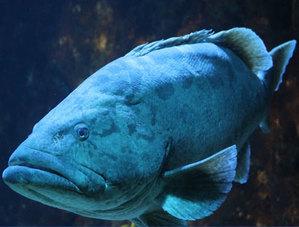 Гигантский групер (лат. Carcharhinus melanopterus)
