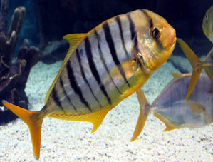 Золотой каранг (лат. Gnathanodon speciosus)